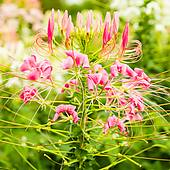 Stock Photograph of Cleome spinosa k18822809.