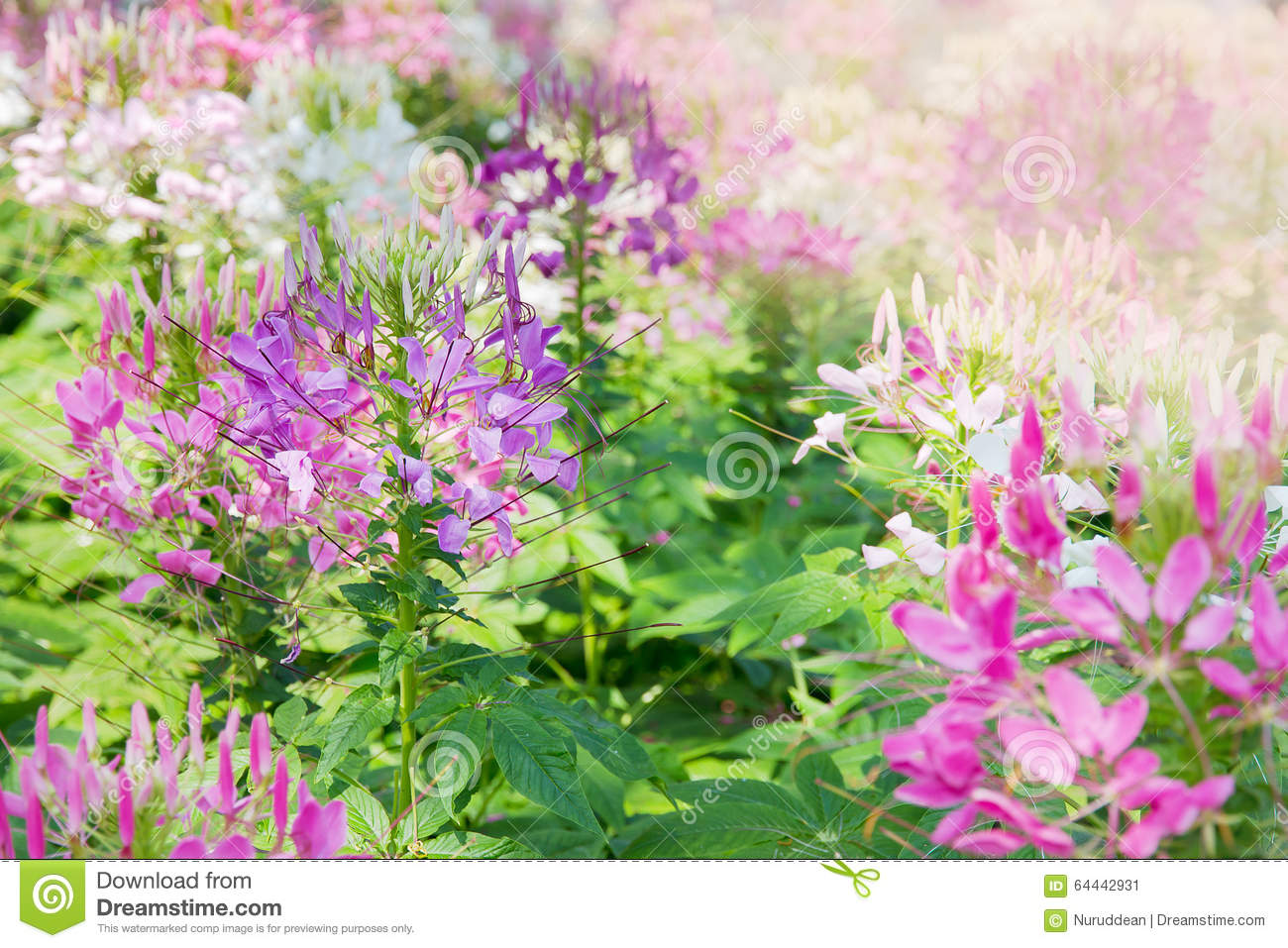 Spider Flower (Cleome Spinosa Jacq). Stock Photo.