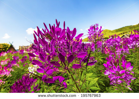 Cleome Spinosa Stock Photos, Images, & Pictures.