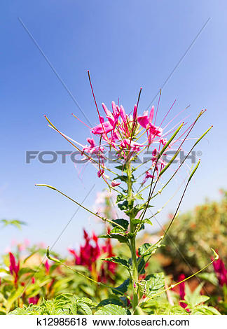 Pictures of Cleome spinosa linn or Spider Flower k12985618.