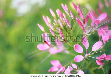 Cleome Spinosa Flower Stock Photos, Royalty.