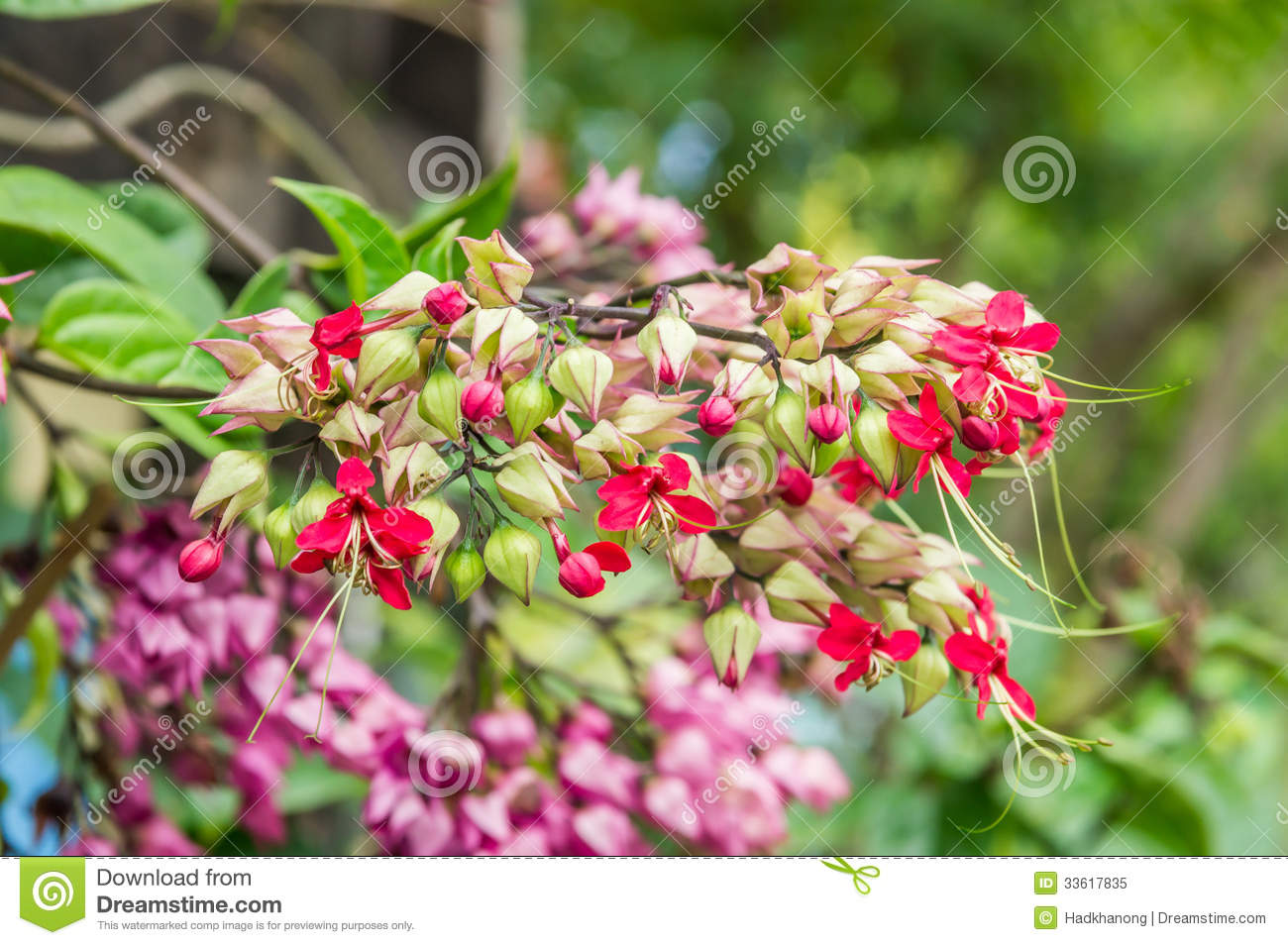 Bagflower Or Clerodendrum Thomsoniae Royalty Free Stock Photo.