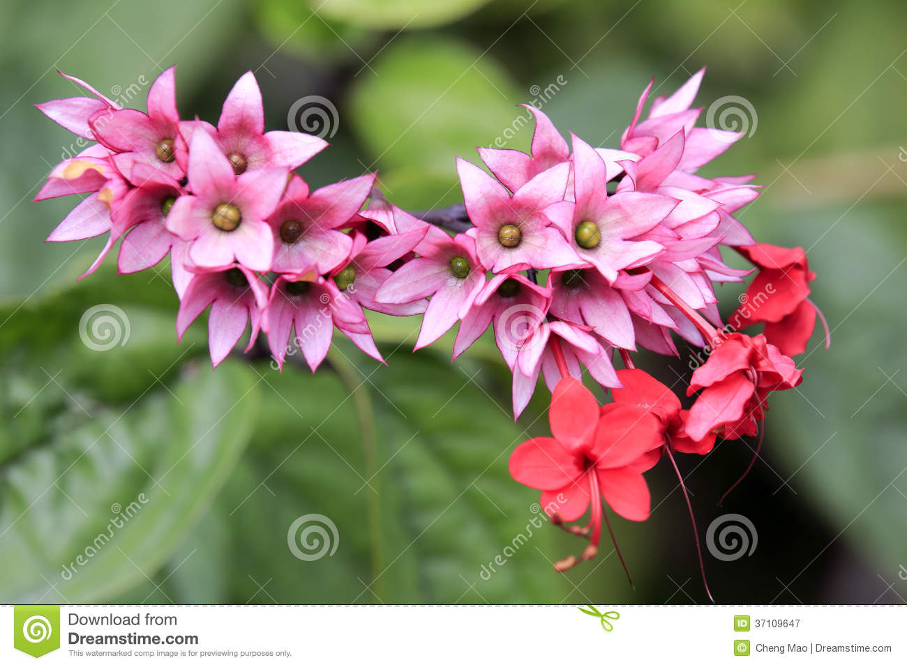 Clerodendrum Thomsoniae Royalty Free Stock Photography.