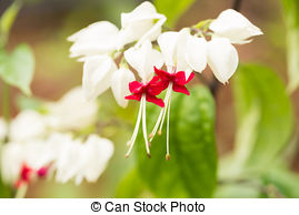 Stock Image of Clerodendrum thomsoniae flower isolated on white.