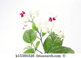 Clerodendrum thomsoniae Stock Photo Images. 43 clerodendrum.