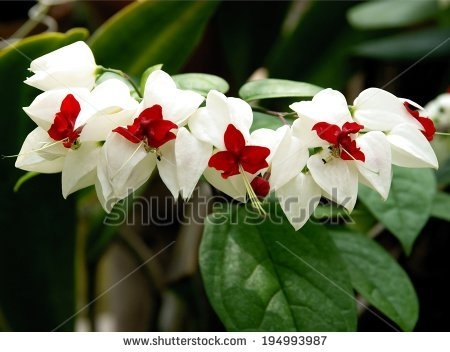 Clerodendrum Thomsoniae Stock Photos, Royalty.