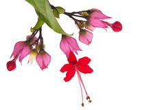 Bagflower Or Clerodendrum Thomsoniae Stock Photo.