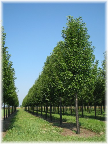 Quality Wholesale Ornamental Trees for Indiana Landscapers.