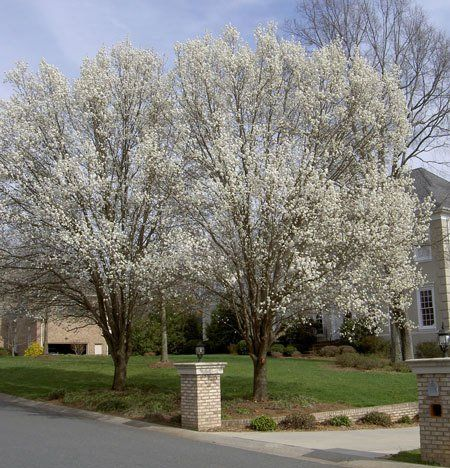 1000+ ideas about Flowering Pear Tree on Pinterest.
