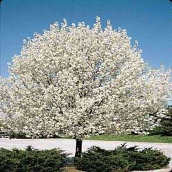 Cleveland Pear Tree Clipart Clipground