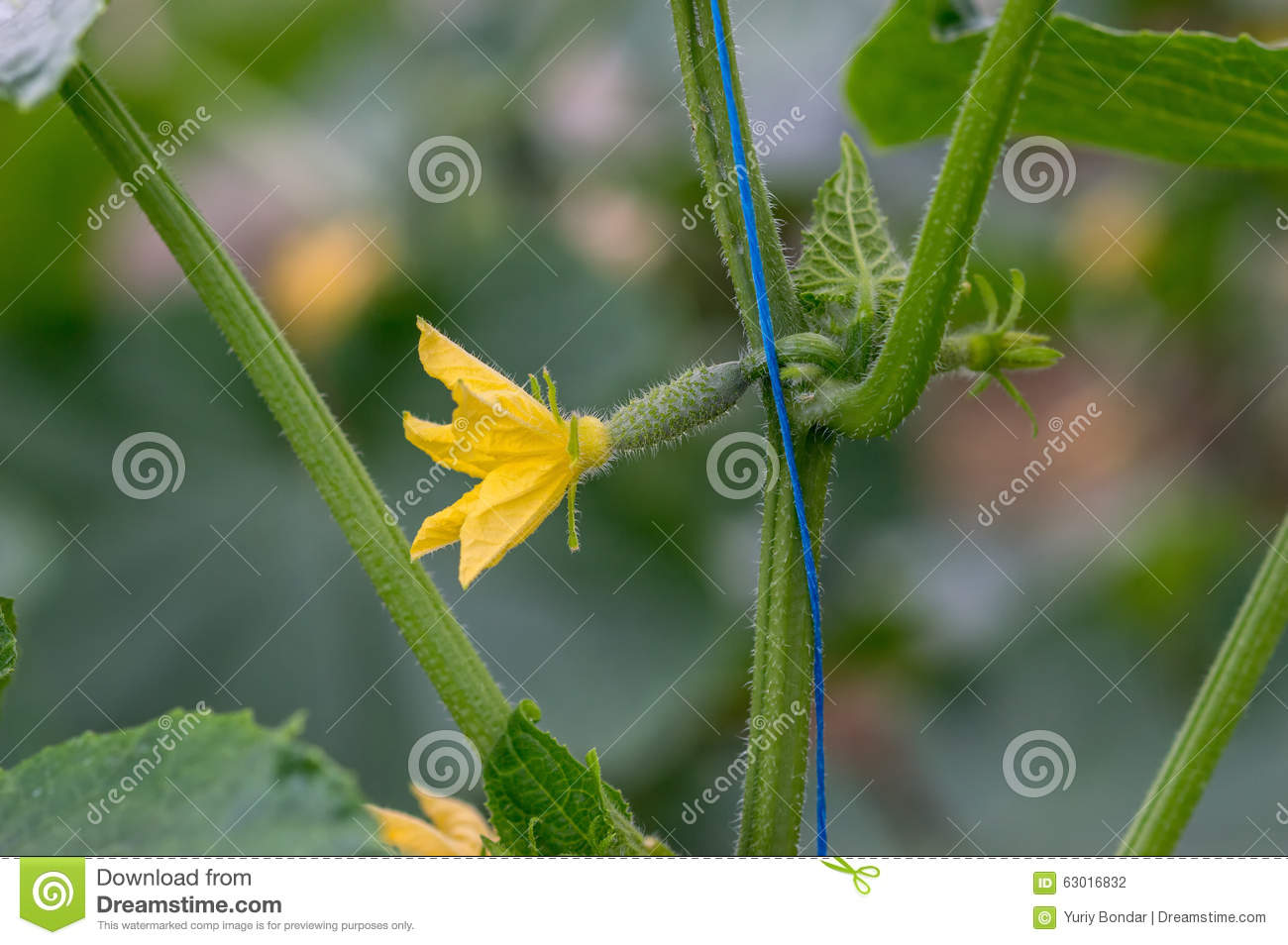 Growing Cucumbers In Greenhouses Stock Photo.