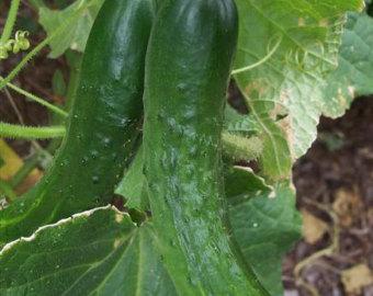 Heirloom cucumbers.