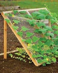 Lettuce shade cucumber climbing frame.