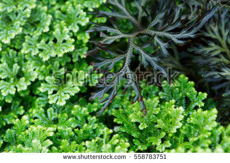 Fern Tree Stock Photos, Royalty.