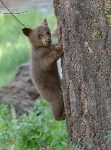 Bear Climbing a Tree in the Forest.