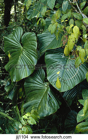Stock Photo of Epiphytic climbing Philodendron in Tropical Rain.