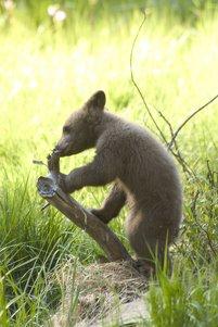 Bear Cub Clipart Image.