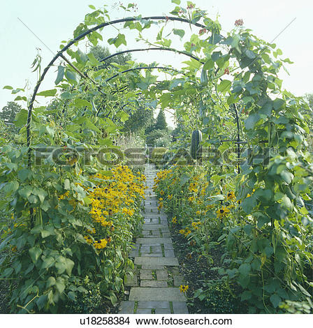 Stock Photo of Climbing beans on arch in vegetable garden.