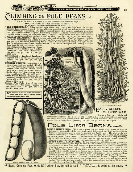 garden catalogue page, climbing beans illustration, black and.