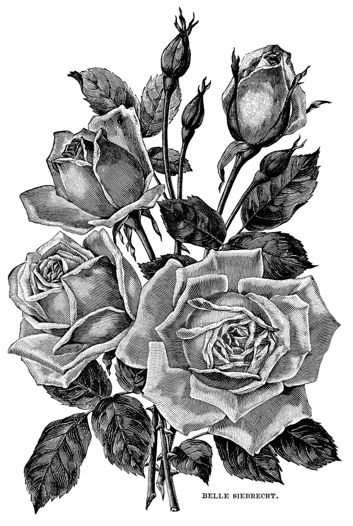 vintage garden clipart, black and white flower illustration, roses.