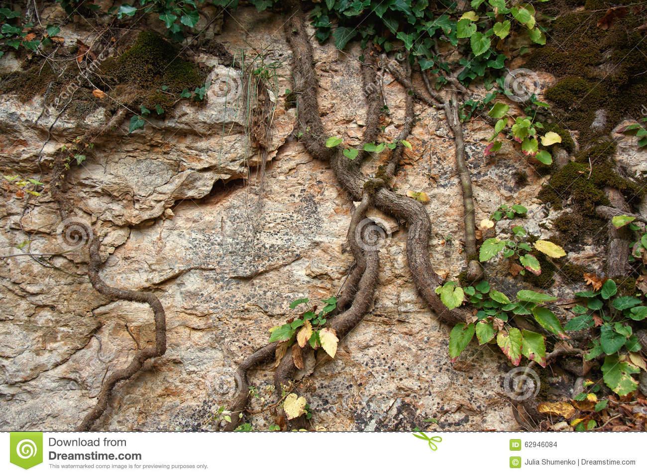Liana Climbing On A Rock Stock Photo.