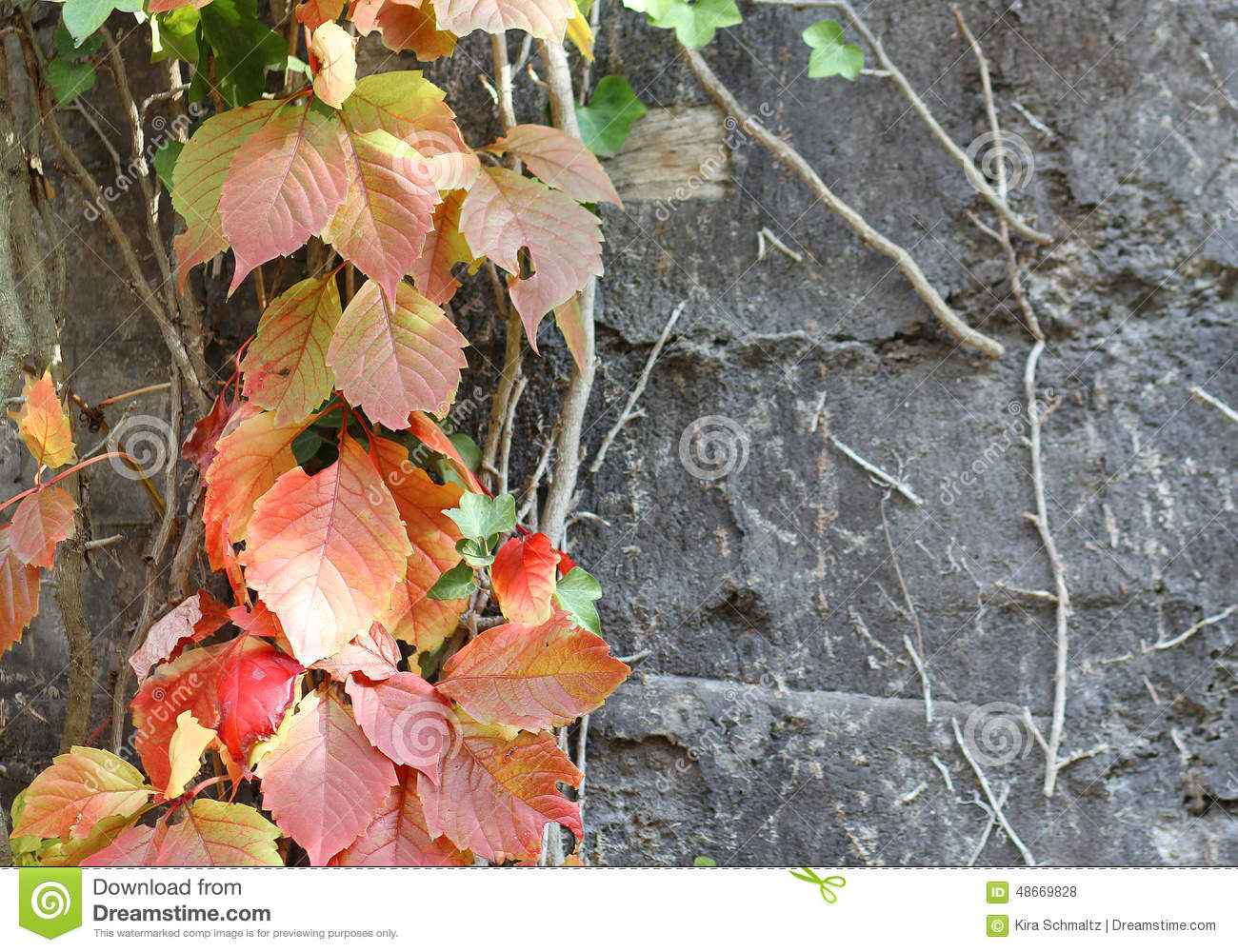 The Liana With Colorful Leaves Climbing At The Wall Stock Photo.