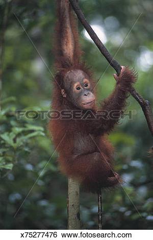 Stock Images of Orangutan Baby Climbing Liana x75277476.