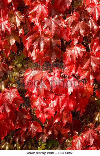 Parthenocissus Vitacea Stock Photos & Parthenocissus Vitacea Stock.