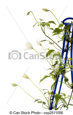 Stock Image of clematis climbing plant.