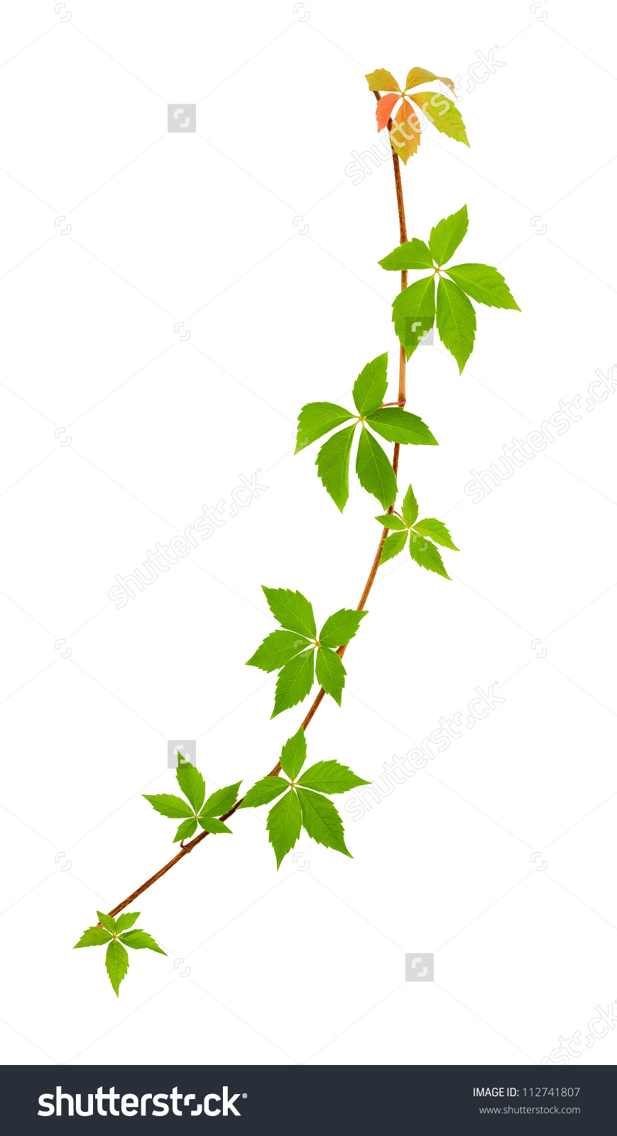 Climbing Vine Isolated On White Stock Photo 112741807.