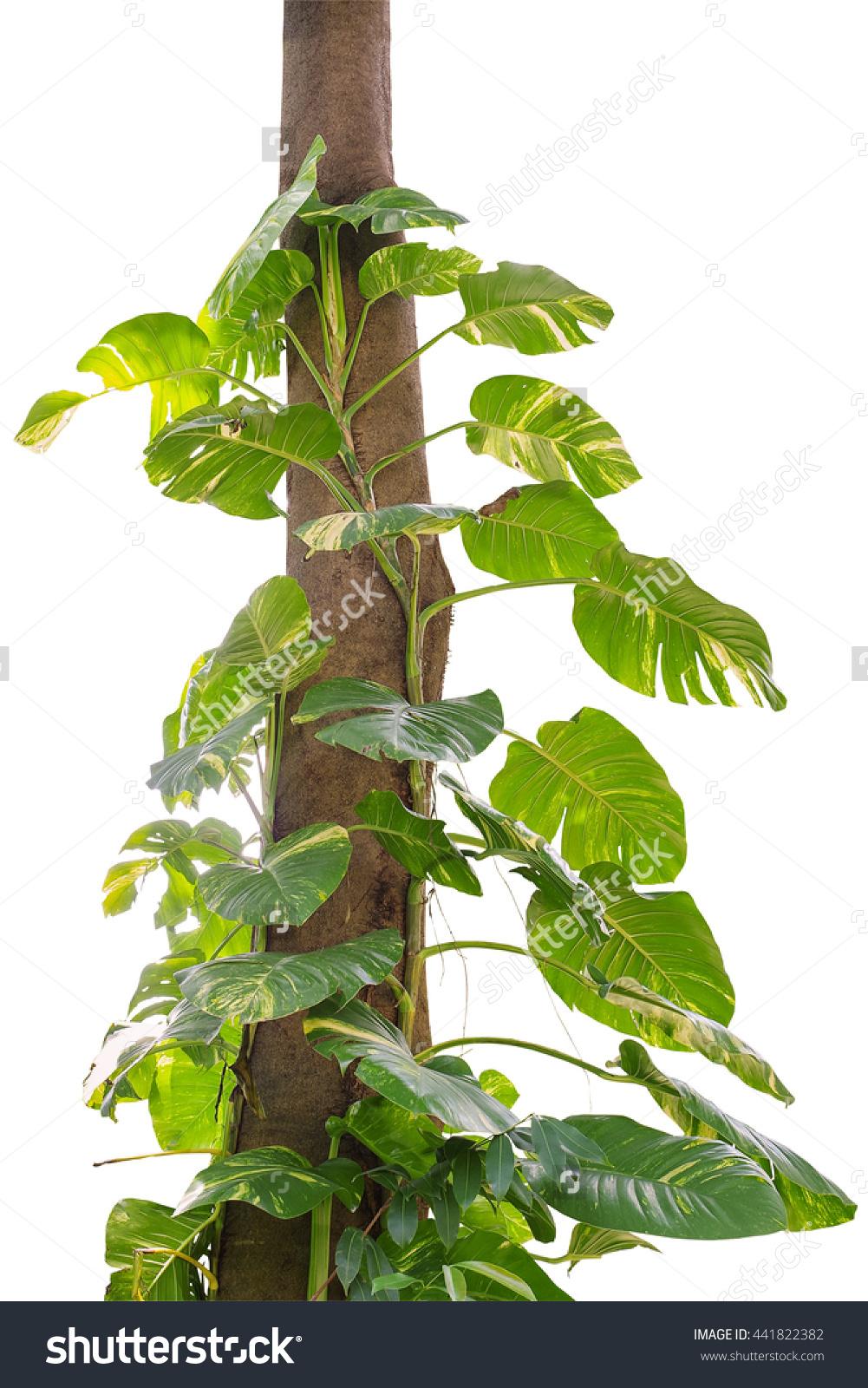 Creeper Plant Growing Wild Jungle Vines Stock Photo 441822382.