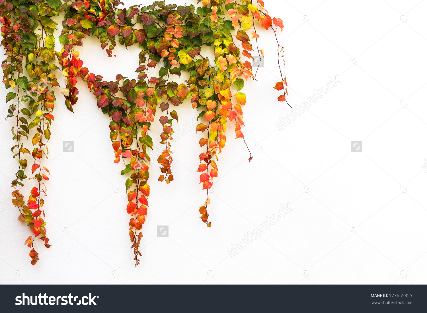 Red Ivy Creeper Leaves On White Stock Photo 177655355.