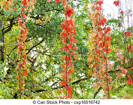Stock Photo of red leaves of climbing plant in autumn evening.