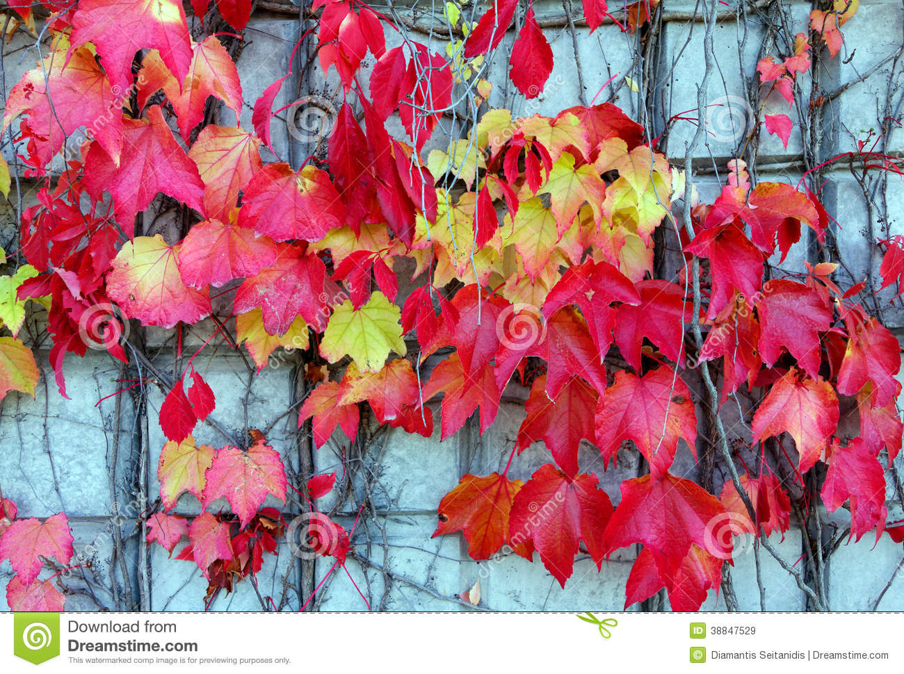 Red Ivy Creeper Leaves Stock Photo.