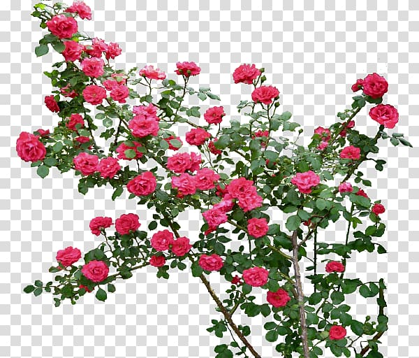 Rose Flower , climbing transparent background PNG clipart.