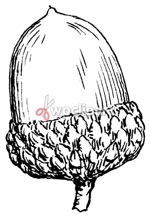 acorn clip art.