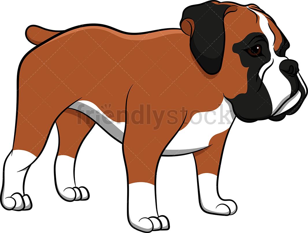 Boxer Dog Standing Still.