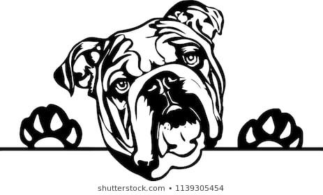 Super English Bulldog Clip Art Easy Clipart Images Stock Photos.