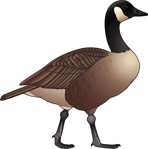 Best Canada Goose Illustrations, Royalty.