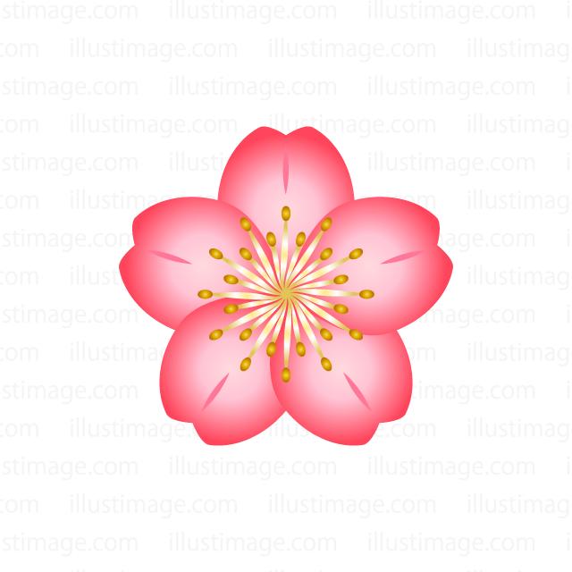 Flower clip art cherry blossom.