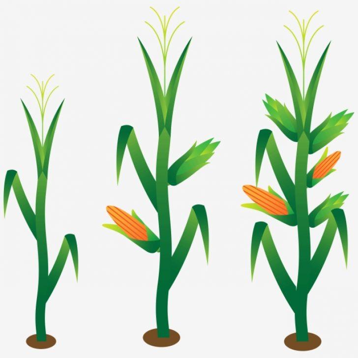 free corn maze clipart.