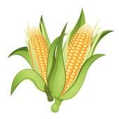 Ear corn Illustrations and Clipart. 365 ear corn royalty free.