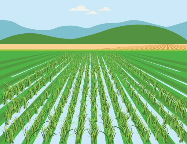 Best Rice Field Illustrations, Royalty.