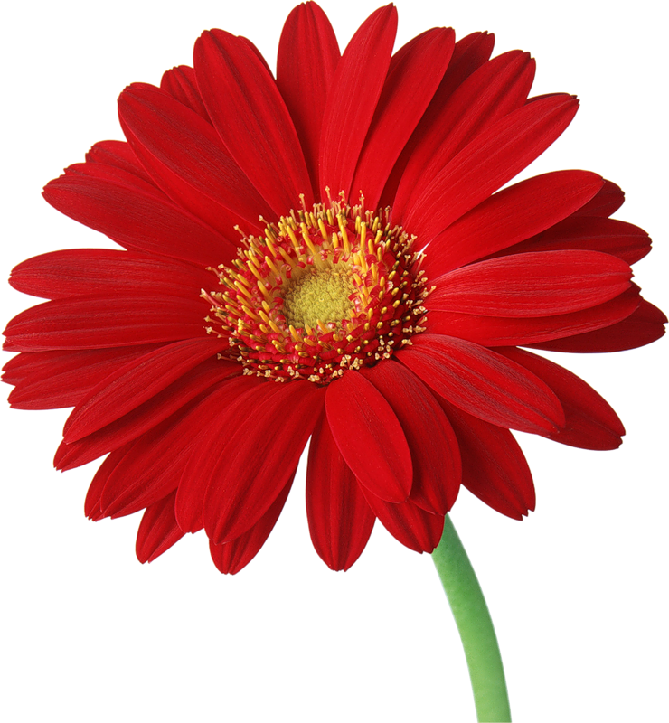 Red Gerber Daisy with Stem Clipart.