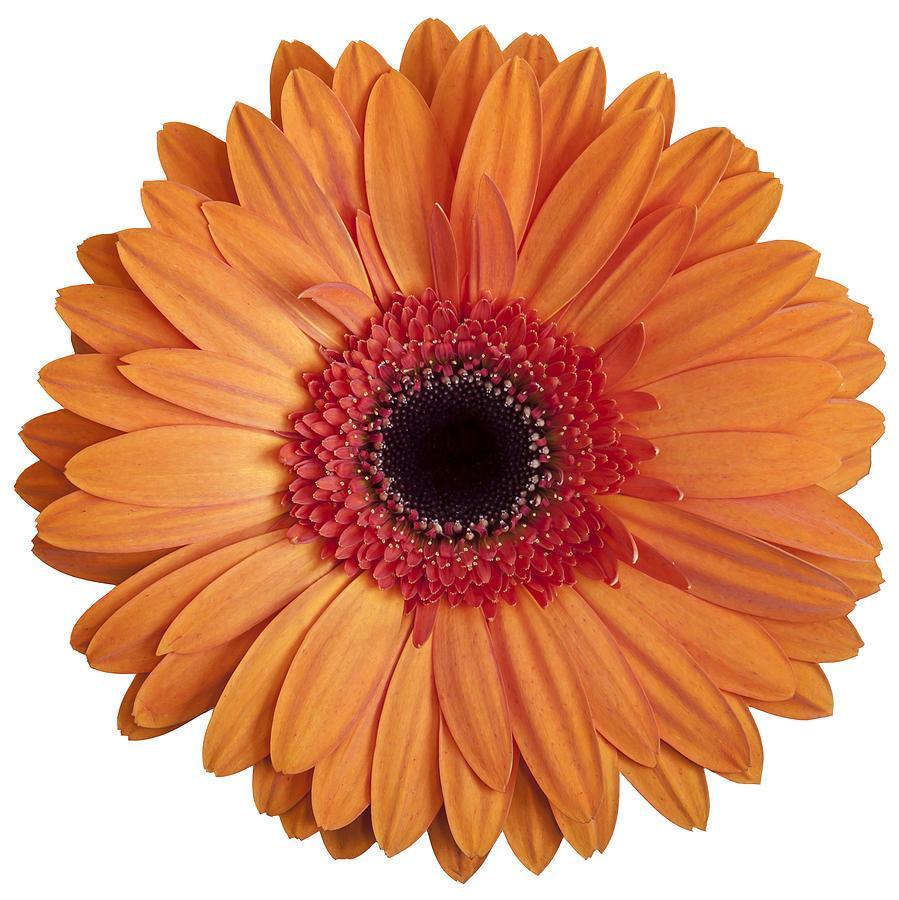 Free clipart of gerbera daisies 4 » Clipart Portal.
