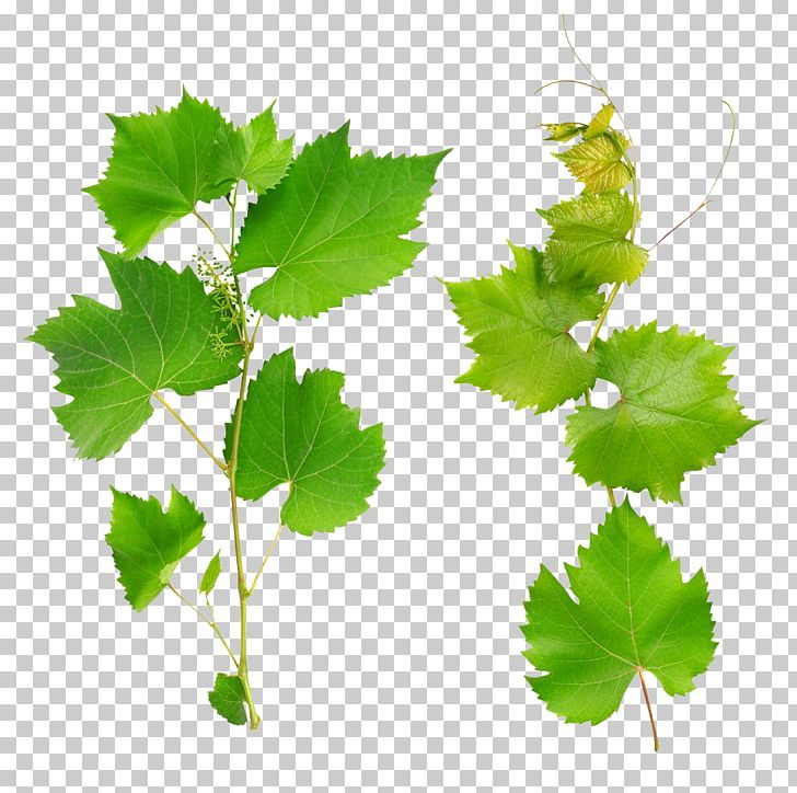 Wine Common Grape Vine Grape Leaves Leaf PNG, Clipart, Branch, Can.