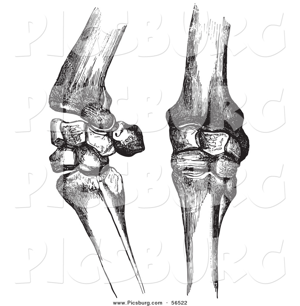 Clip Art of Two Horse Knee Bones and Joints.