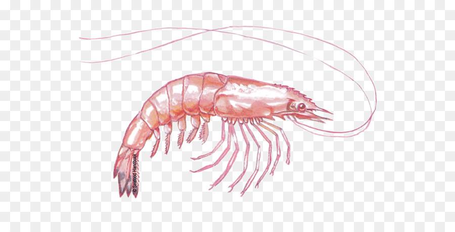 Shrimp Cartoontransparent png image & clipart free download.