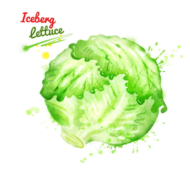 Best Iceberg Lettuce Illustrations, Royalty.