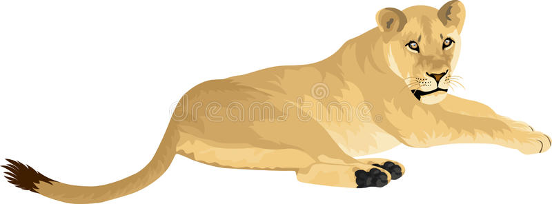 Female Lioness Stock Illustrations.